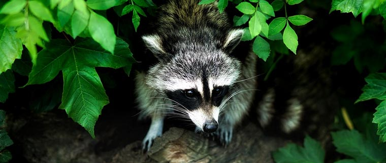 Wildlife Control Services, Humane Wildlife Removal Hamilton, Burlington, Oakville