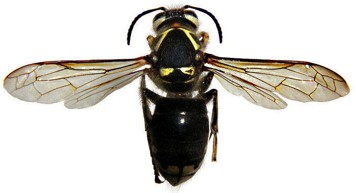 Black and white wasp queen