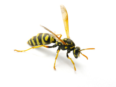 Paper Wasp, Umbrella Wasp