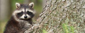 Wildlife Pest Control Ancaster, Burlington, Hamilton, Oakville