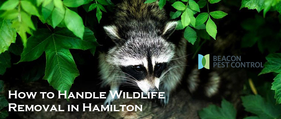 How to Handle Wildlife Removal in Hamilton