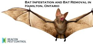 Bat Infestation and Bat Removal in Hamilton, Ontario