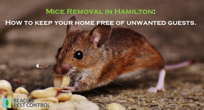 Mice Removal in Hamilton