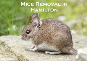 mice removal